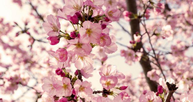 kwitnące-drzewa