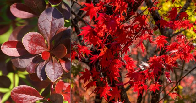 Najpiękniejsze drzewa i krzewy o czerwonych liściach