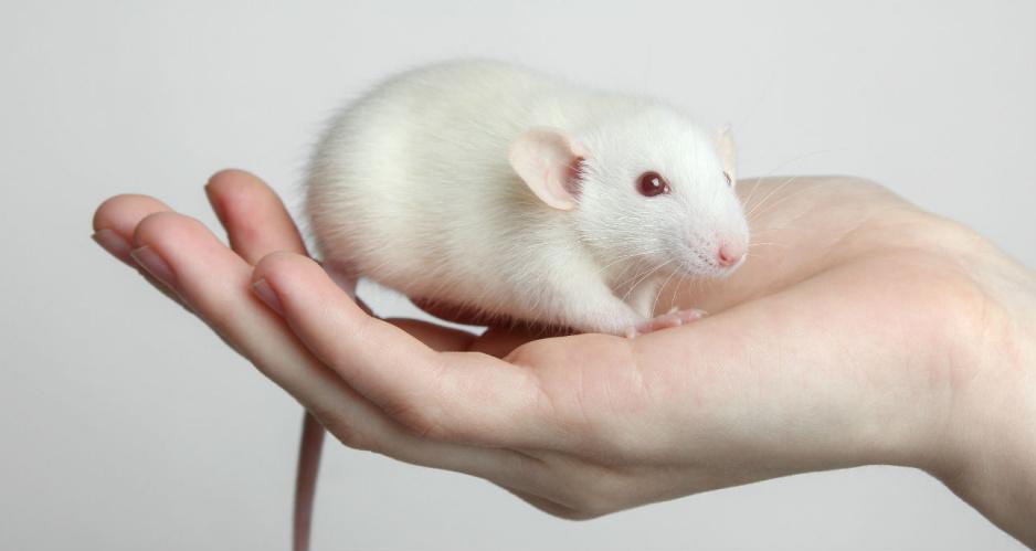 Sennik Szczur Znaczenie Snu O Szczurze Claudia