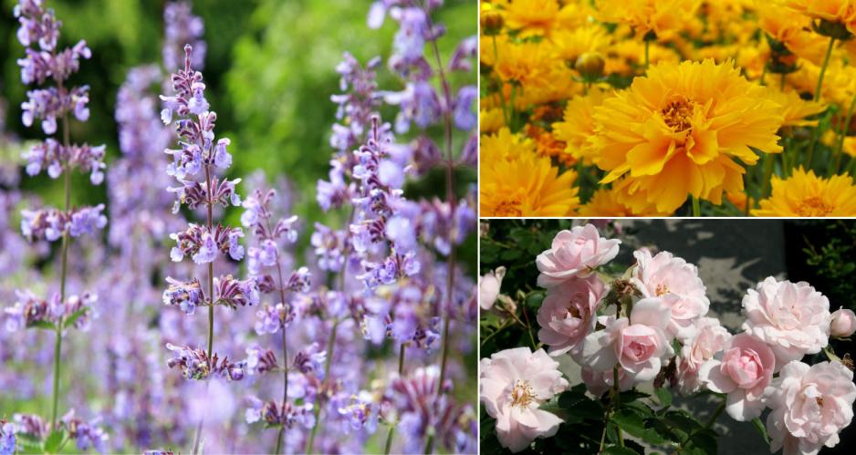 Najpiękniejsze kwiaty, które kwitną całe lato - Claudia