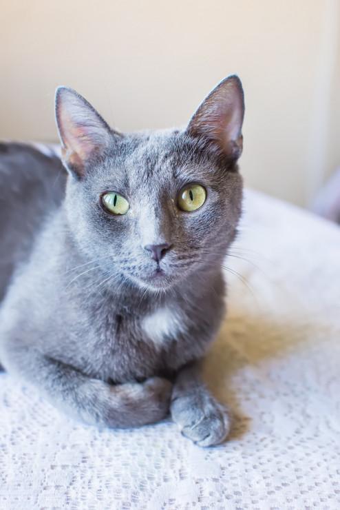 Rosyjski Niebieski Kot 20 Najpiękniejszych Ras Kotów