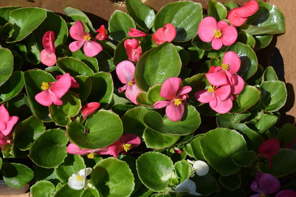 Begonia Kwiaty Na Słoneczny Balkon