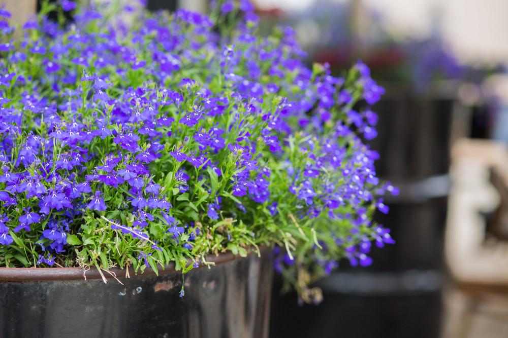 Lobelia Kwiaty Na Słoneczny Balkon