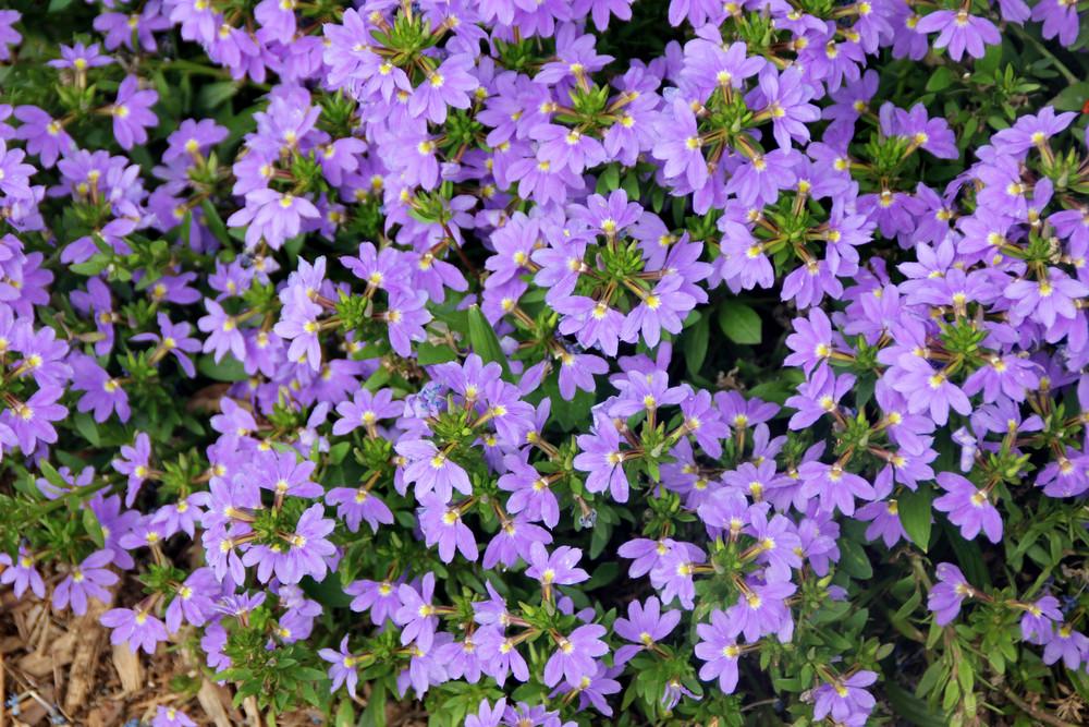 Scewola Kwiaty Na Słoneczny Balkon