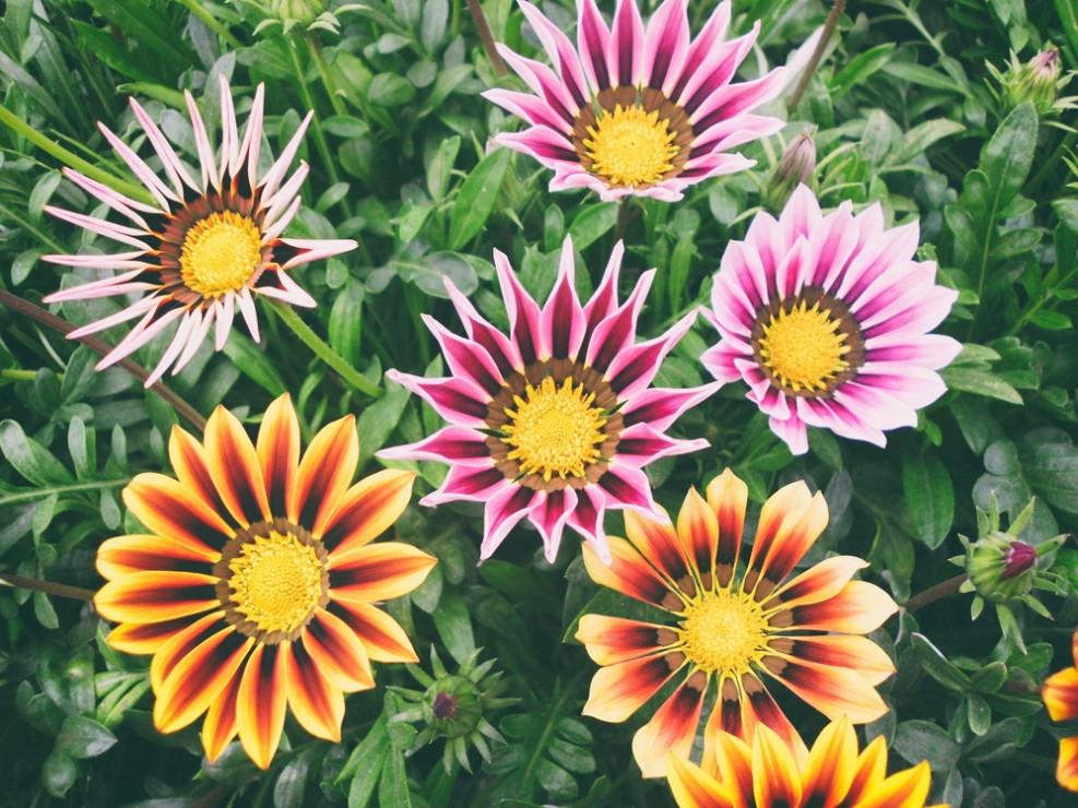 Gazania Kwiaty Na Słoneczny Balkon