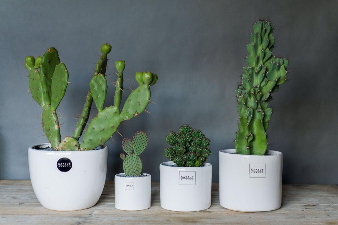 Kaktusy 6 Najmodniejszych Domowych Roślin