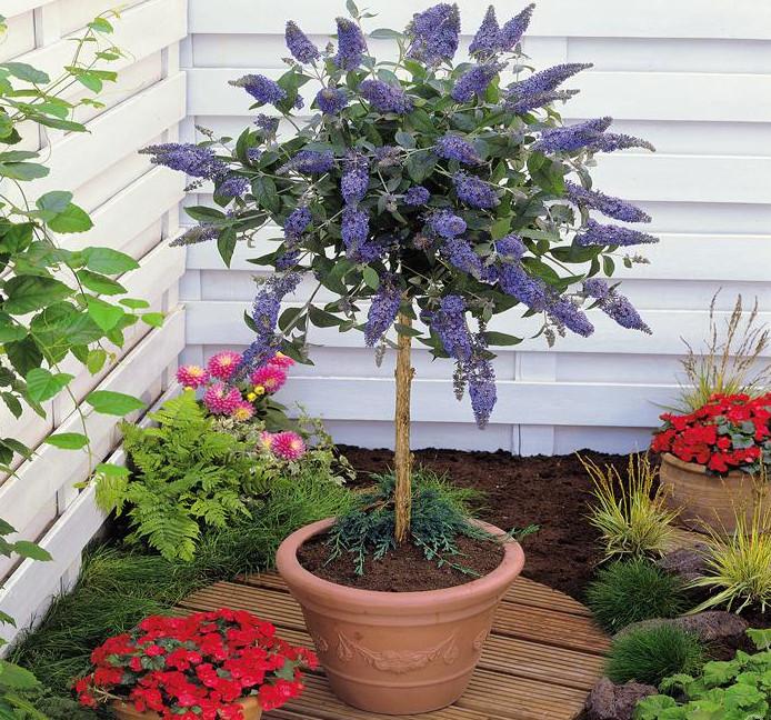 Small Evergreen Shrubs For Pots: Miniaturowe Drzewka Na Balkon