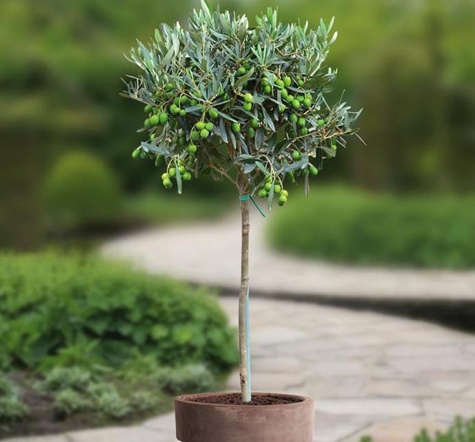 Drzewko Oliwne Na Balkon Q Housepl