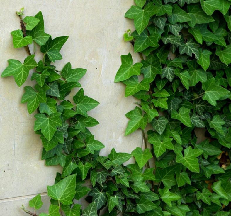 Bluszcz pospolity - Najładniejsze rośliny lubiące cień