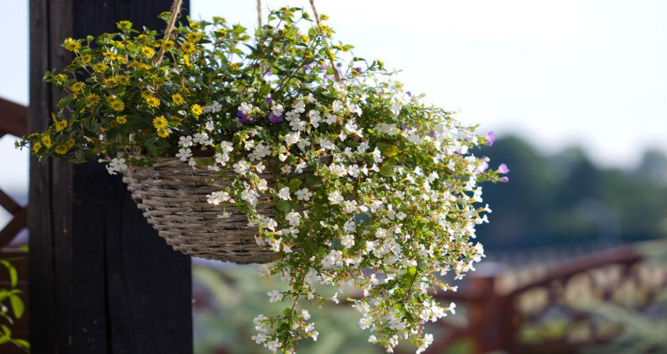 Bacopa - Najładniejsze rośliny lubiące cień