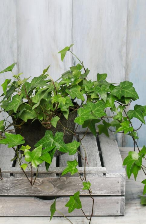 Bluszcz Pospolity Najlepsze Rośliny Do Sypialni