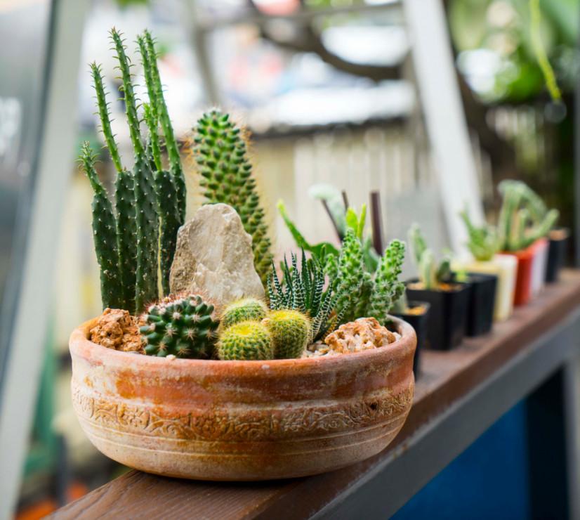 Kaktusy Najmniej Wymagające Rośliny Domowe