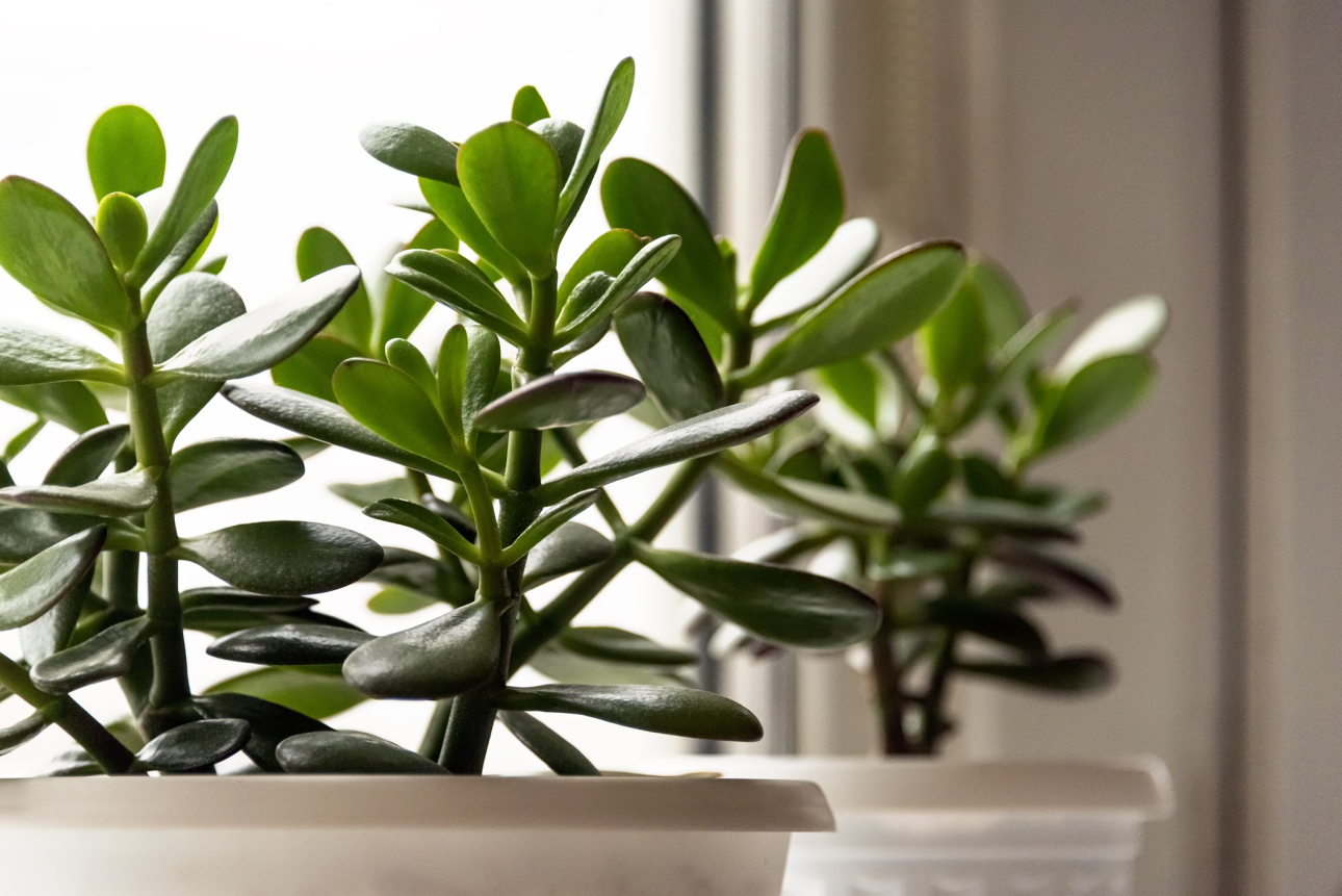 jakie rośliny warto mieć wdomu grubosz drzewko szczęścia